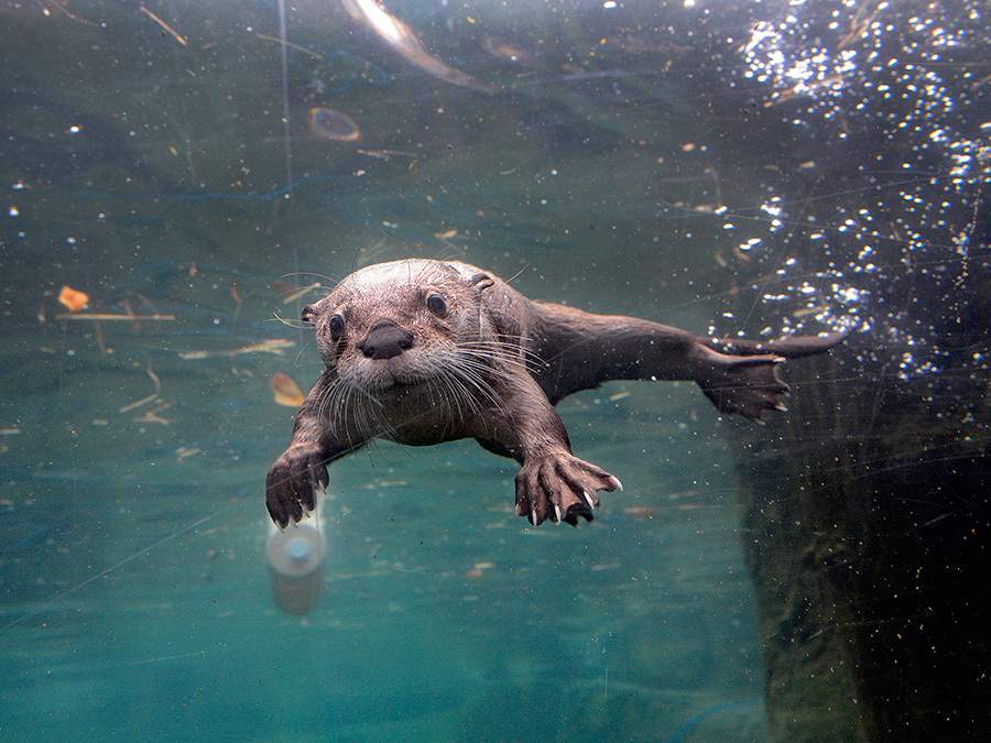 american river otter in zoo setting essay