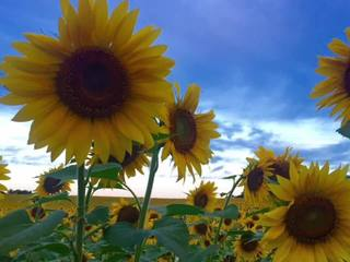 Harford Co. Farm forced to replant sunflowers