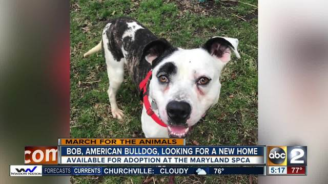 Bob- the American bulldog looking for a new home
