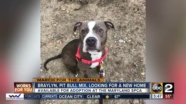 Braylyn- a pit bull mix is looking for her new home