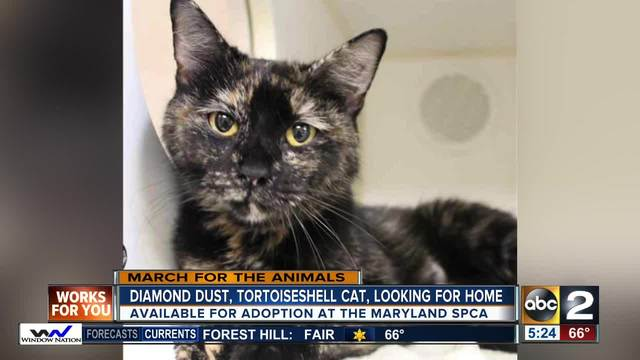 Diamond Dust- a tortoiseshell cat is looking for a new home