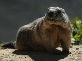 Groundhog tries to attack woman in Carroll Co.