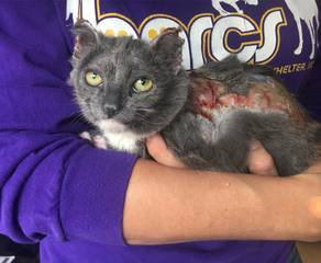BARCS seeking donations for burned kitten