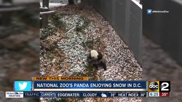 Giant panda can't get enough of snow at National Zoo