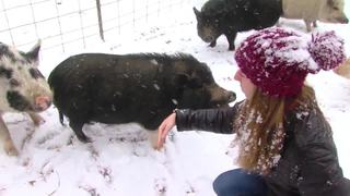 Saving Abandoned Potbelly Pigs