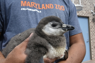 Maryland Zoo named their 1,000th penguin chick