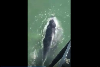 Whale makes major splash on Ocean City shore