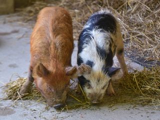 Maryland Zoo welcomes pair of KuneKune pigs