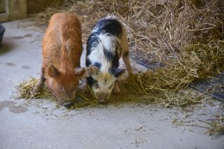 Piglets make their debut at Maryland Zoo