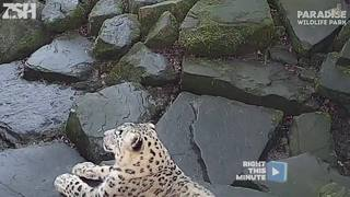 Snow leopard puts on a show for the camera