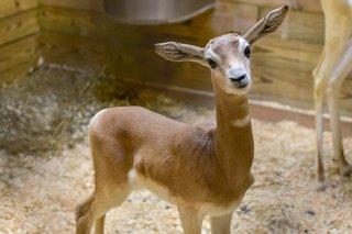 Maryland Zoo welcomes Addra gazelle calf